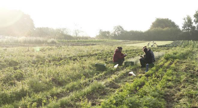 gemüseacker-morgenstimmung-ernte-ernte