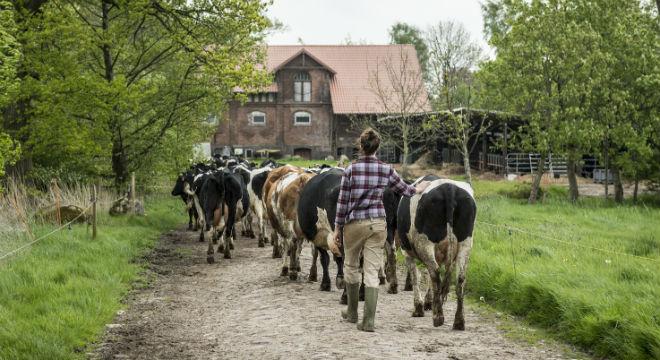 kühe-holen
