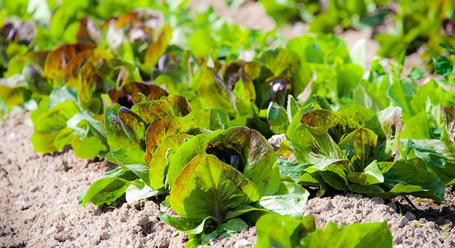 salat-demeter-hof-gemuese