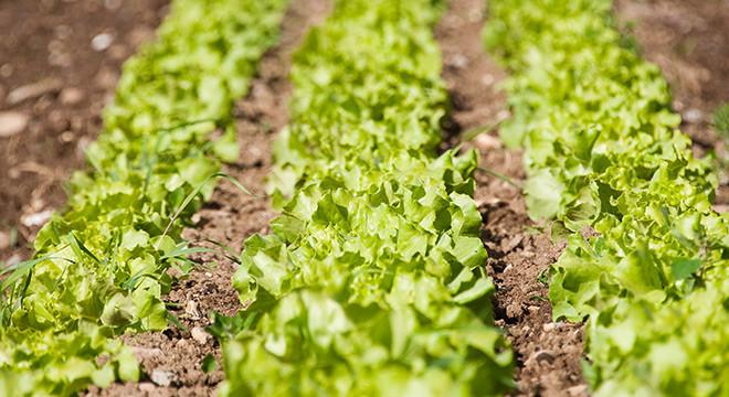 salat-reihensaat-demeter
