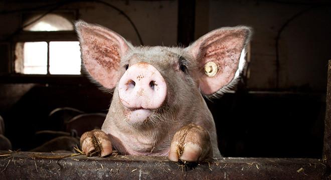 schweine-kattendorfer-hof