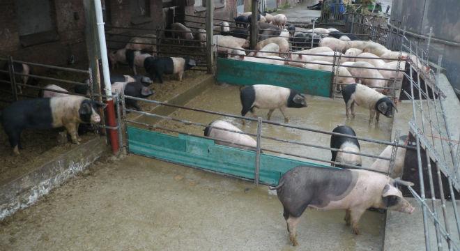 demeter-schweine-auslauf