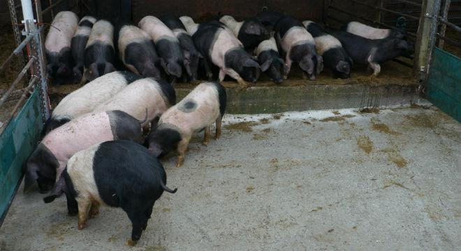 demter-schweine