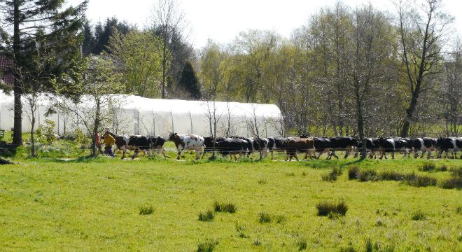 April-kuehe-kattendorferhof