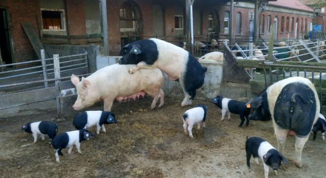 demeter-angler-sattelschwein