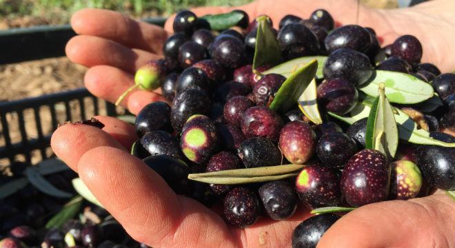 olivenernte-spanien